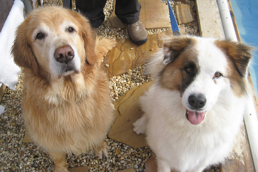 Golden Retriever Max n Mixed Breed Gracie