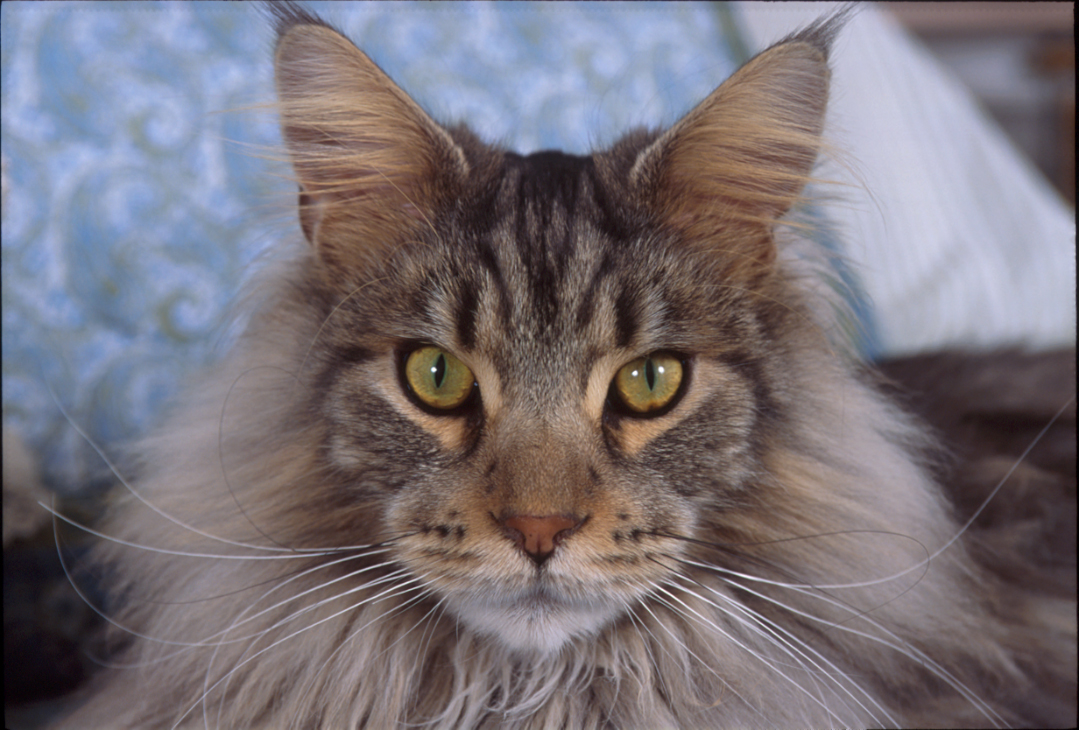 Maine Coon Cat Mickey