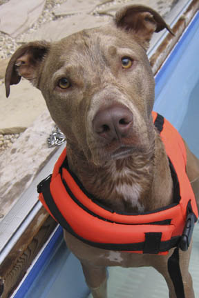 ... vizsla and pitbull mix to download vizsla and pitbull mix just right