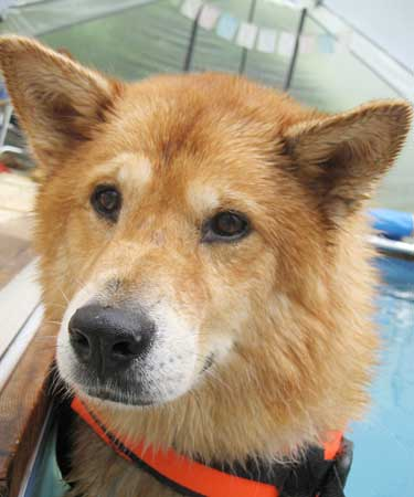 Finnish Spitz Chow Mix | Dog Breeds Picture