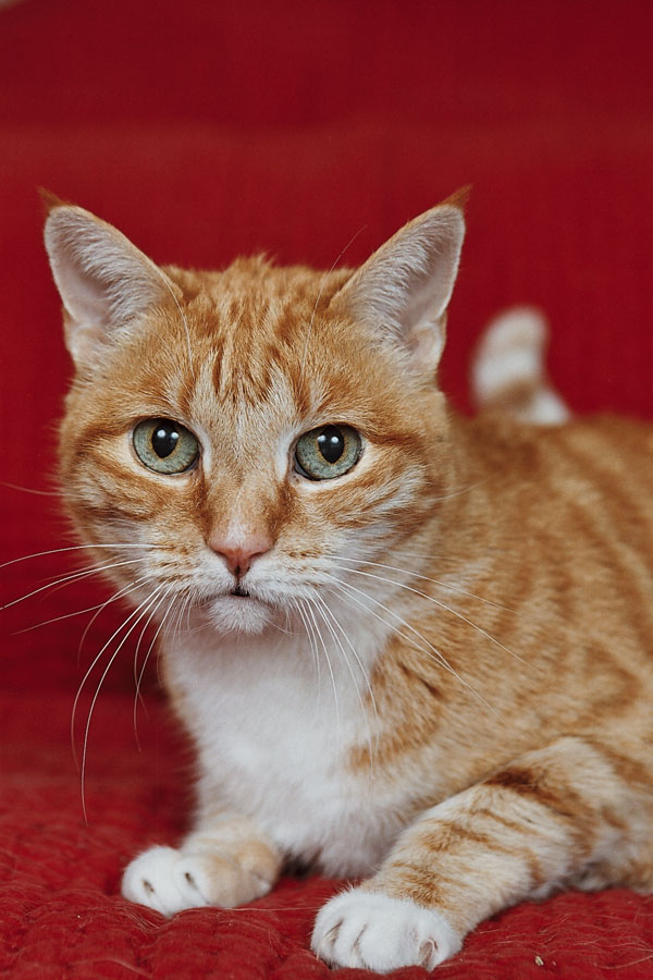 Orange and White Cat Lucky