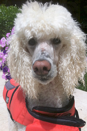 Standard Poodle Romeo