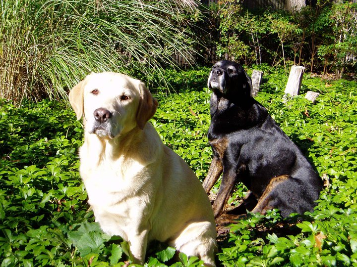 Yellow Lab Hero n Black Lab Bits
