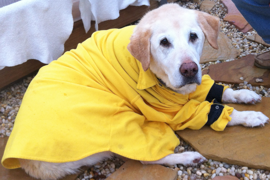 Yellow Lab Shelly